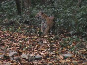 Royal Bengal Tiger @Corbett