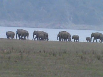 Elephant Herd @ Corbett